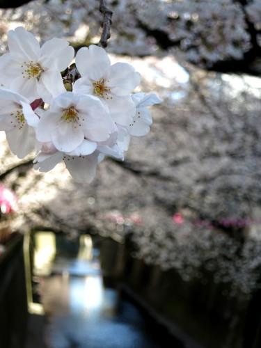目黒川の桜(2015年)